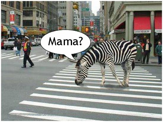Zebra na pasach...